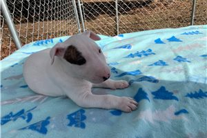 Sisco - Bull Terrier for sale