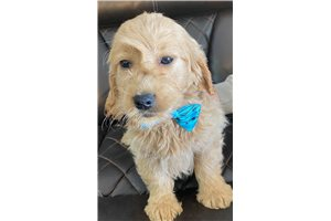 Colby - Goldendoodle, Mini for sale