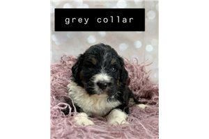 Picture of Gray Collar