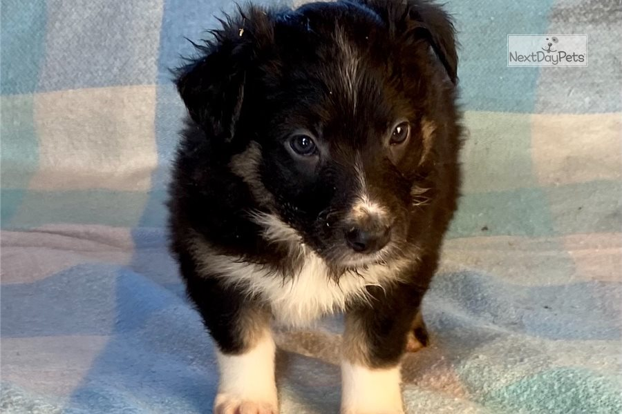 Accolades and breeding experience for your Australian Shepherd breeder