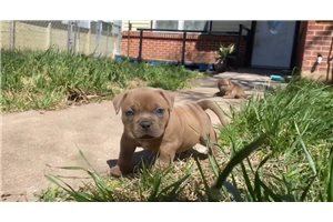 JT - American Bully for sale