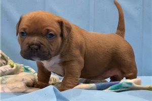 Resha - American Bully for sale