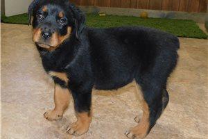 Jan - Rottweiler for sale