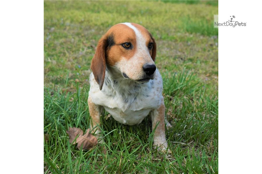 Accolades and breeding experience for your Beagle breeder