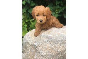 Mini Goldendoodles for sale