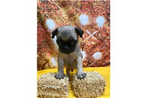 Pugs for sale