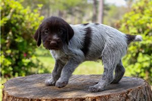 Wirehaired Pointing Griffons for sale