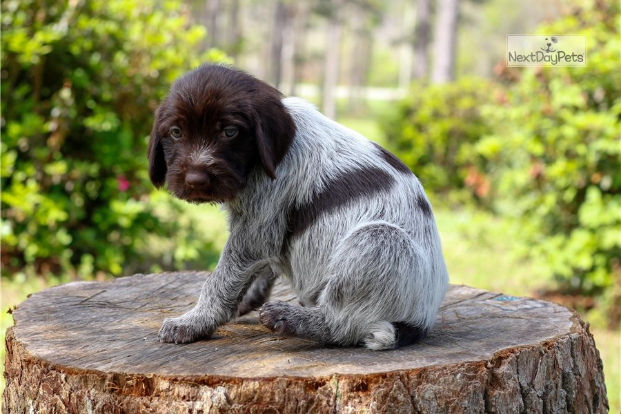 Gus: Wirehaired Pointing Griffon puppy for sale near ...