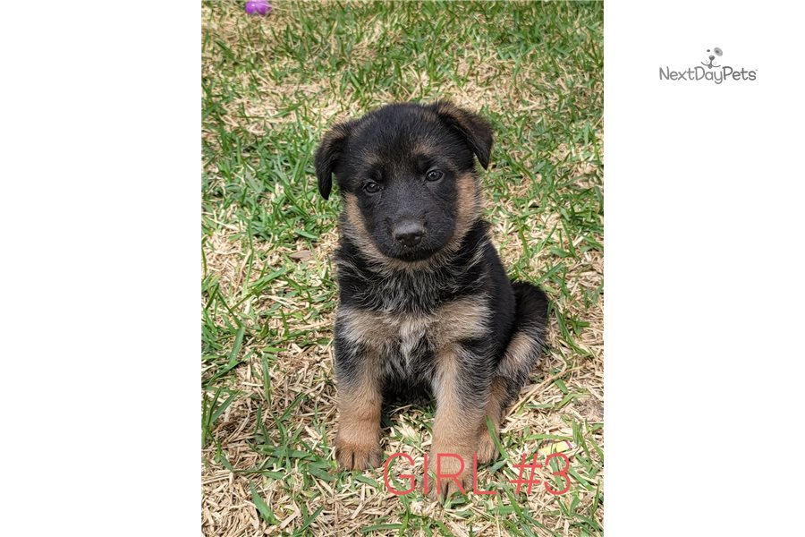 Accolades and breeding experience for your German Shepherd breeder