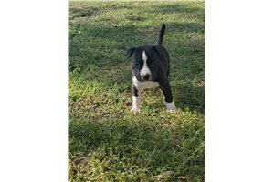 Black Jack - American Bully for sale