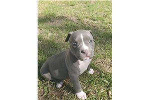 Belle - American Bully for sale