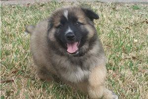 King - German Shepherd for sale