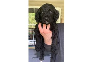 Mac | Puppy at 7 weeks of age for sale