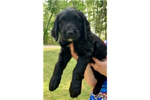 Cashew | Puppy at 7 weeks of age for sale