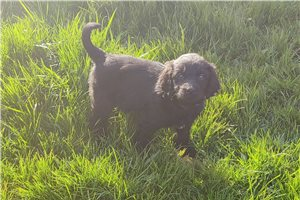 Weimardoodles for sale