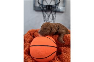 LeBron | Puppy at 3 weeks of age for sale