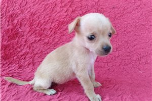 Chihuahuas for sale