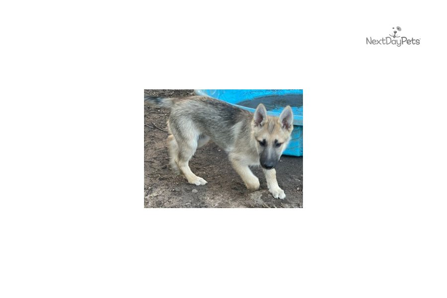 Picture of a Gerberian Shepsky