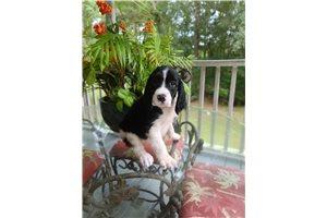 Springerdoodles for sale