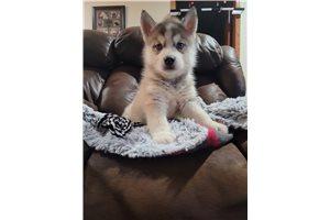 Siberian Huskies for sale
