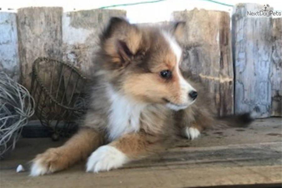 Australian Kelpie puppy for sale near Akron / Canton, Ohio