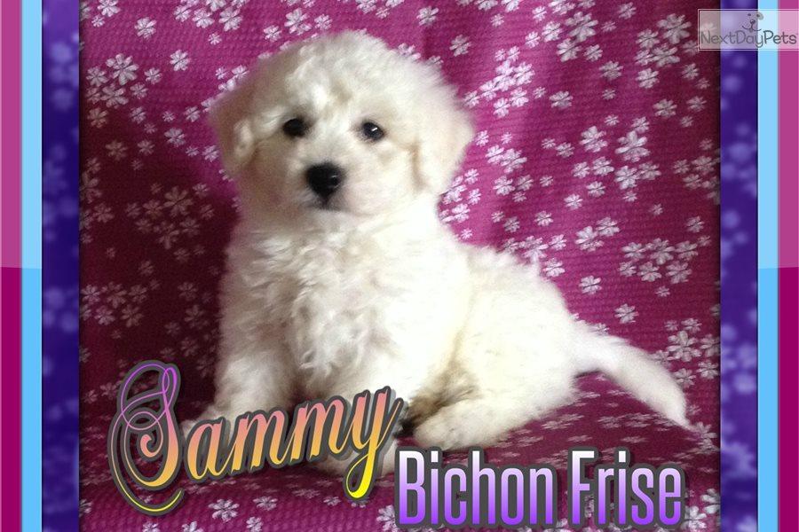 Sammy Bichon Frise Puppy For Sale Near Akron Canton Ohio Ac67130d B271