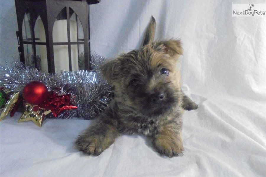 Cairn Terrier puppy for sale near Akron / Canton, Ohio