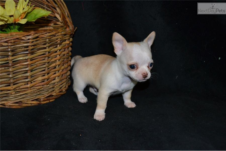 Dino Chihuahua Puppy For Sale Near Akron Canton Ohio 24c55e1c 6db1