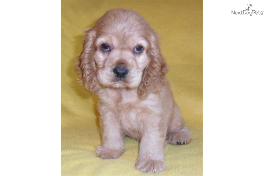 Scooter Cocker Spaniel Puppy For Sale Near Akron Canton Ohio