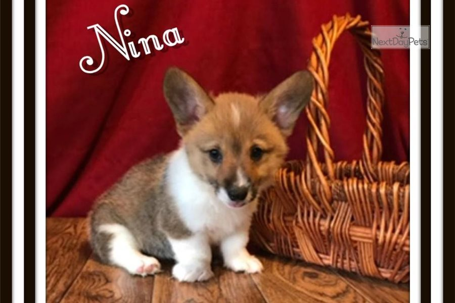 Nina Corgi Puppy For Sale Near Akron Canton Ohio F7240433 B821