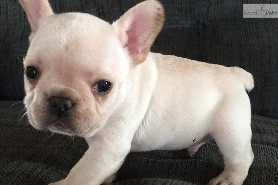 French Bulldog puppy for sale near Akron / Canton, Ohio