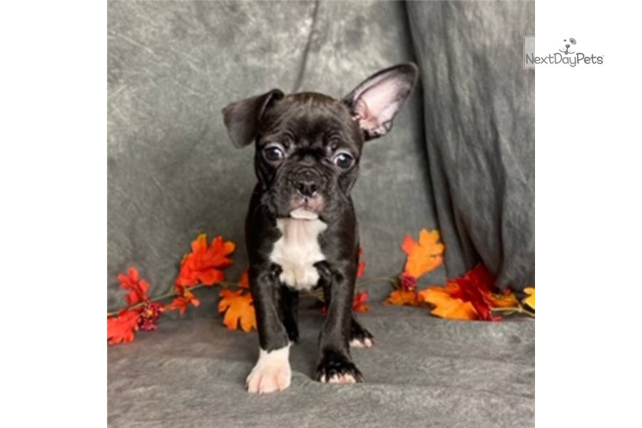Picture of a Frenchton