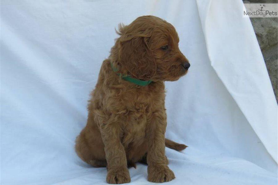 Golden Irish Puppy For Sale Near Akron Canton Ohio 357cd361 67c1