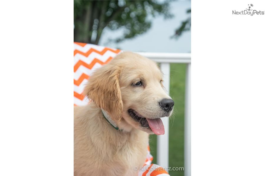 Golden Retriever Dogs For Sale In Ohio