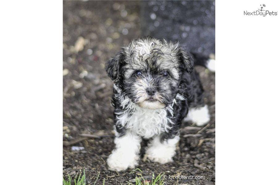 Elizabeth: Havanese puppy for sale near Akron / Canton ...