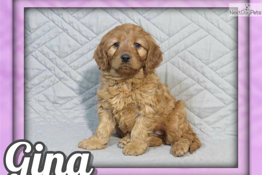 Gina Irishdoodle Puppy For Sale Near Akron Canton Ohio F8ea4f62 15c1
