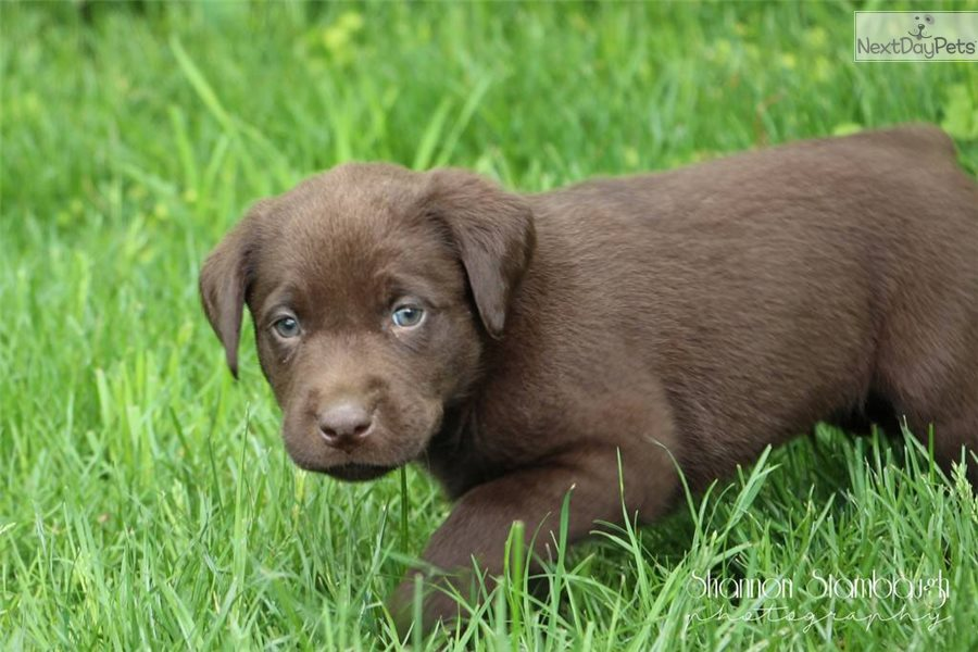 Zeke Labrador Retriever Puppy For Sale Near Akron Canton Ohio