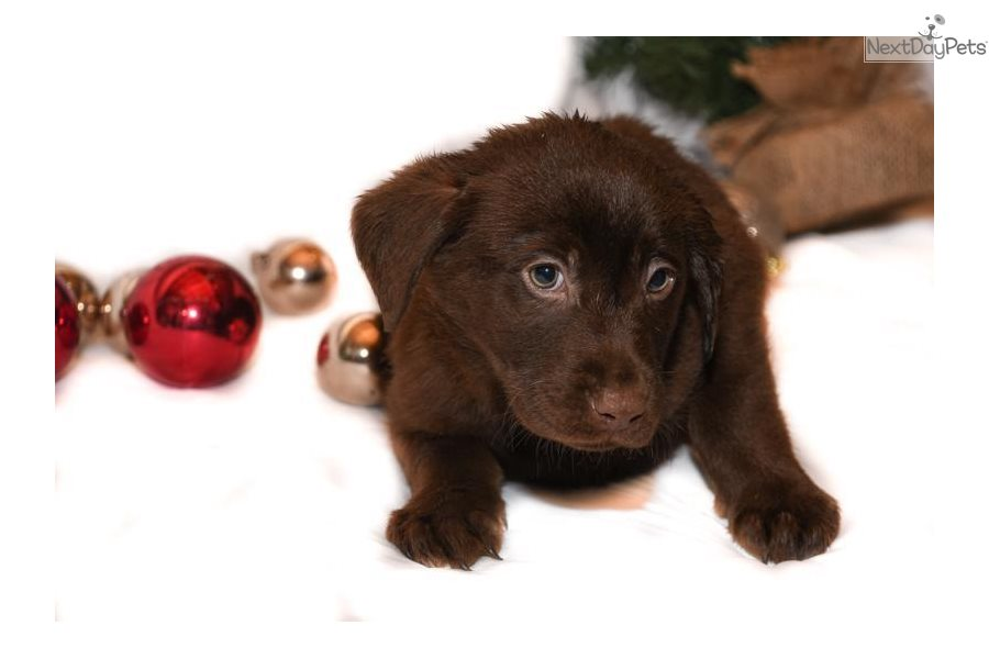 Labrador Retriever Puppy For Sale Near Akron Canton Ohio