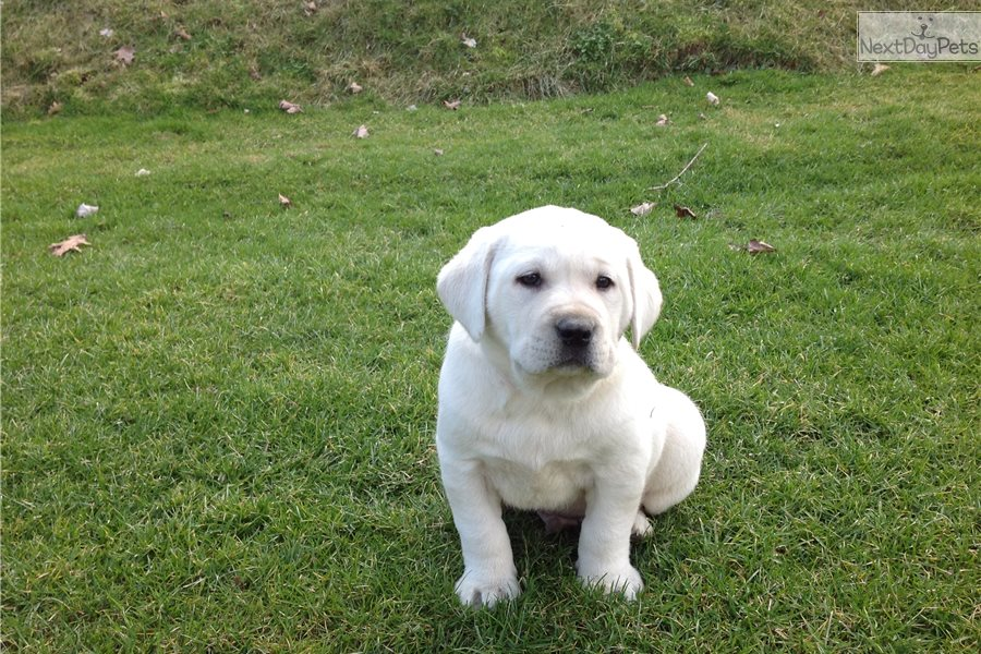 Hoobly Dogs For Sale Ohio