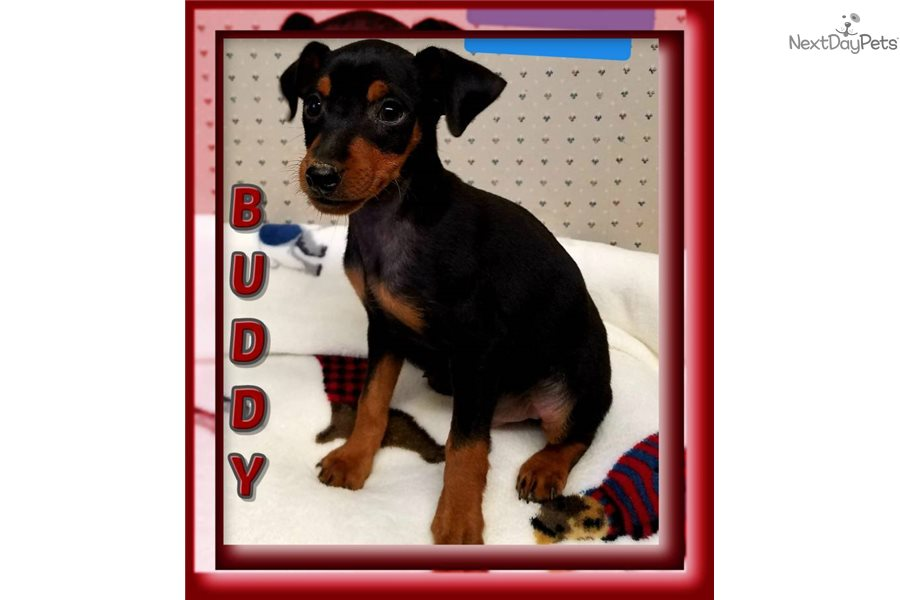 Miniature Pinscher Puppy For Sale Near Akron Canton Ohio 93b4df2a 2f21