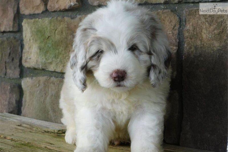 Newfoundland puppy for sale near Akron / Canton, Ohio