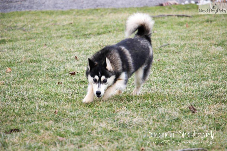 Sara Pomsky Puppy For Sale Near Akron Canton Ohio F69f6cb6 29d1
