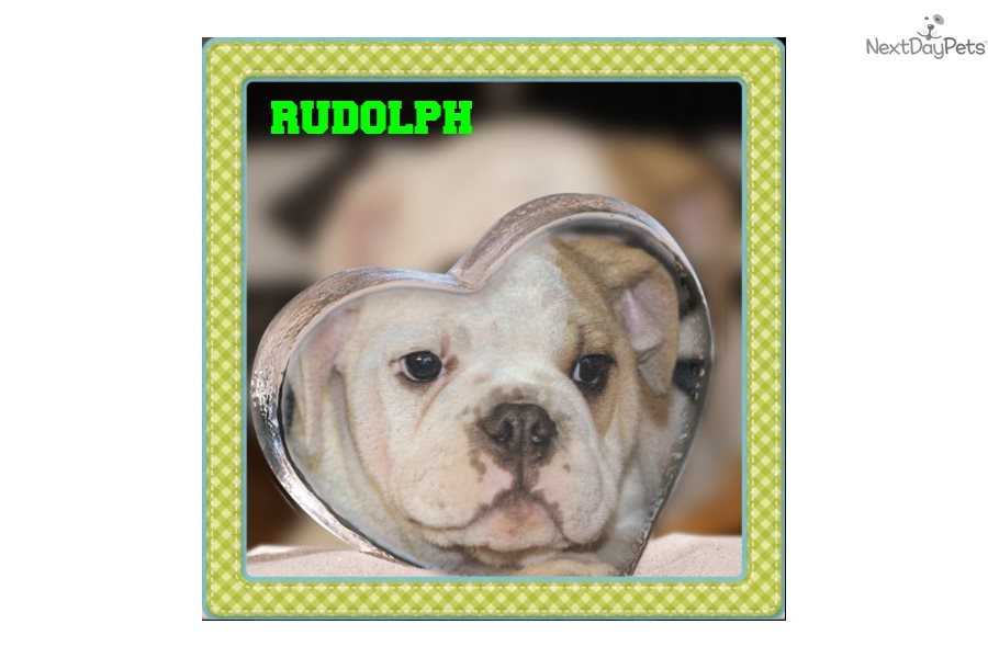 Puggle puppy for sale near Akron / Canton, Ohio | ed55bc28-d141