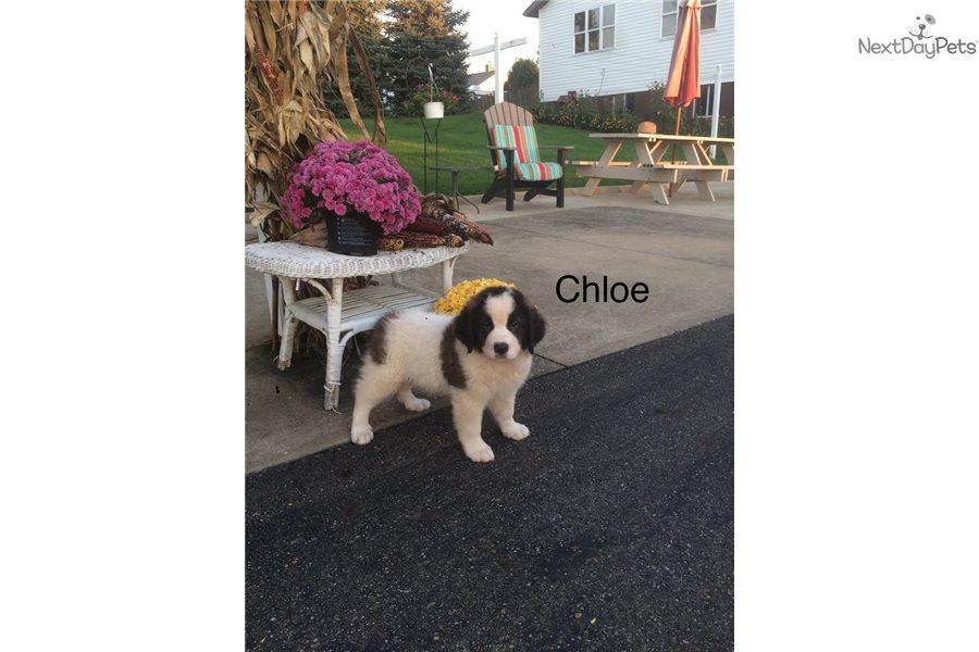 Chloe: Saint Bernard - St  Bernard puppy for sale near Akron
