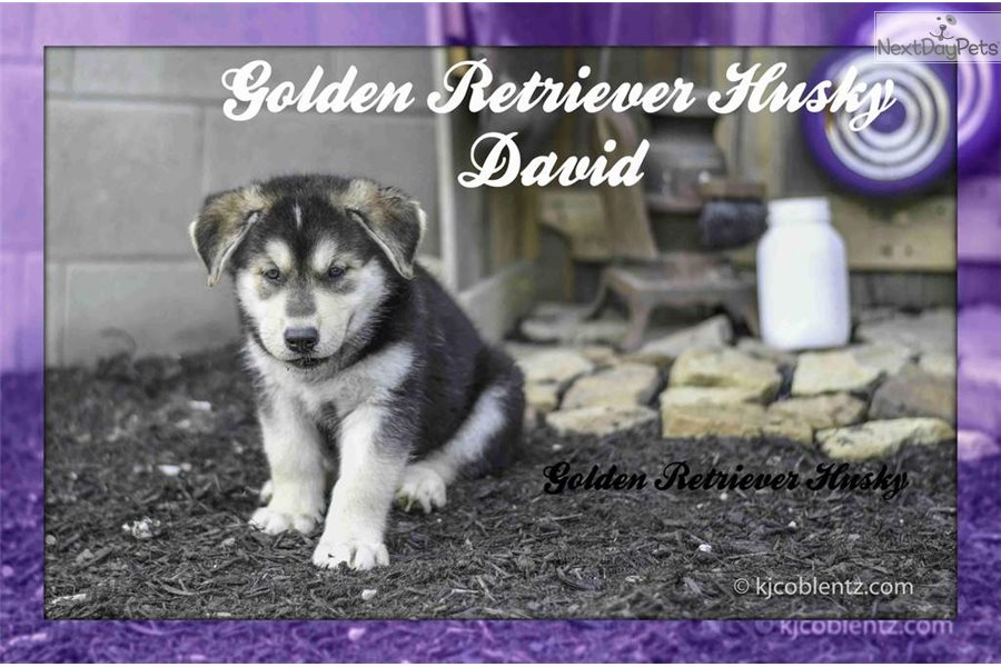 David Siberian Husky Puppy For Sale Near Akron Canton Ohio