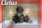 Picture of Cletus Male Aussiedoodle