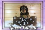 Picture of Queen Isabelle Female Aussiedoodle