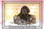 Picture of Chocolate Krispie Female Aussiedoodle