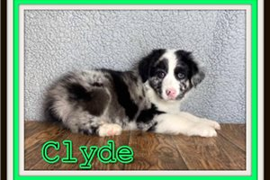 Australian Shepherd Puppies For Sale From Akron Canton Ohio Breeders