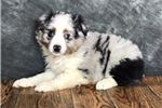 Picture of Picasso Male Aussie Mini